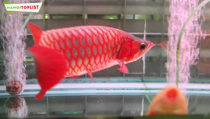 ca-canh-hen-hanoitoplist